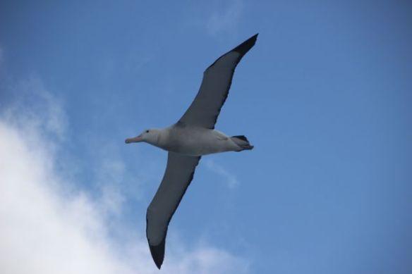4. Albatross