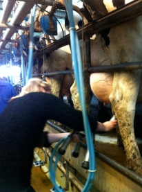 More milking for A-J
