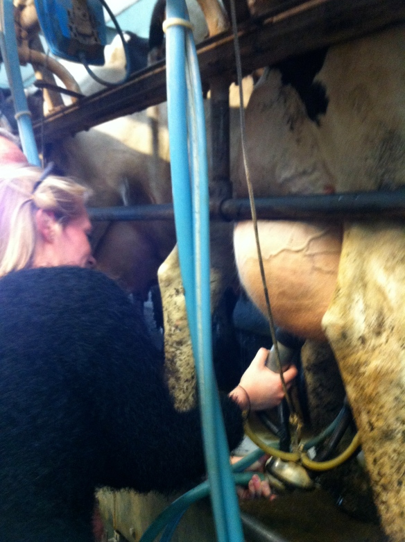 A-J's first milking experience